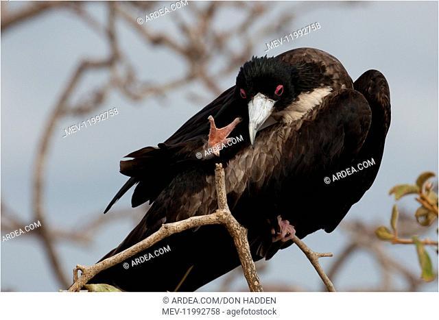 Great Frigatebird - An adult female head scratching - On North Seymour Island - Galapagos Great Frigatebird - An adult female head scratching - On North Seymour...