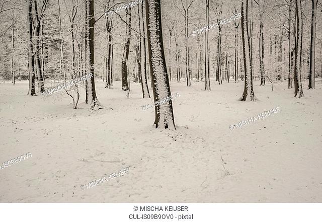 Winter scene in woods, Breda, Noord-Brabant, Netherlands