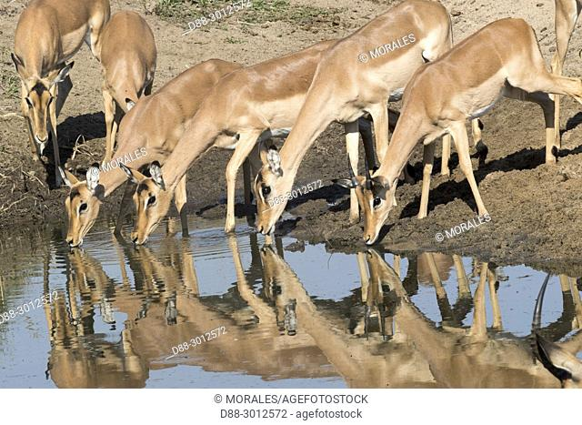 South Africa, Mala Mala game reserve, Impala (Aepyceros melampus), drinking in a pool