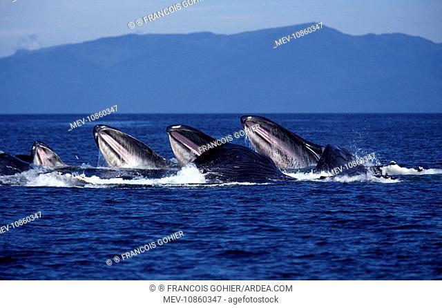 Humpback whale - Cooperative feeding (Bubble net feeding) (Megaptera novaeangliae). Southeast Alaska