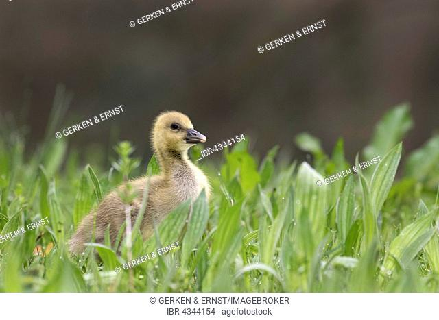 Young Greylag Goose (Anser anser), chick in meadow, Schleswig-Holstein, Germany