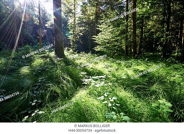 Wood, Hindelbank, nature, ecosystem, mixed forest, forest, spruce, Picea abies, strange to location, the sun, beech, Fagus sylvatica, solar star, sunrays