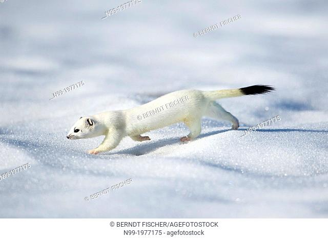 Stoat (Mustela erminea) on snow, white winter coat, Bavaria, Germany