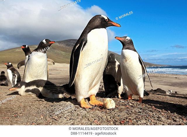 Gentoo Penguin(Pygoscelis papua papua). Saunders Island, Falkland Islands