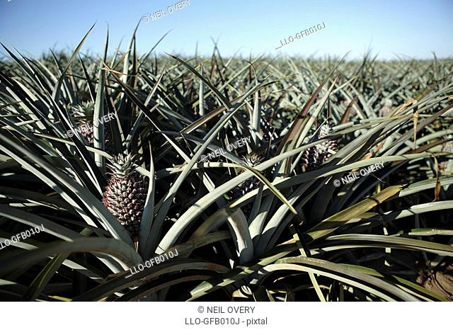 Close-up of a Pineapple Ananas comosus in a Pineapple Plantation  Bathurst, Eastern Cape Province, South Africa