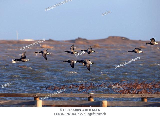 Brent Goose (Branta bernicla bernicla) dark-bellied form, flock, in flight over flooded coastal marshland habitat after tidal surge, Cley-next-the-sea