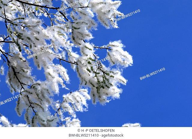 white poplar, silver-leaved poplar, abele Populus alba, fruiting, Germany