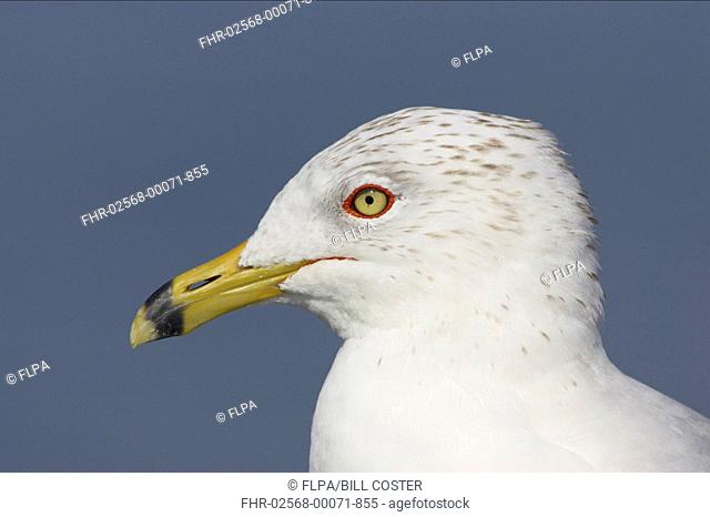 Ring-billed Gull Larus delawarensis adult, winter plumage, close-up of head, Fort de Soto, Florida, U S A