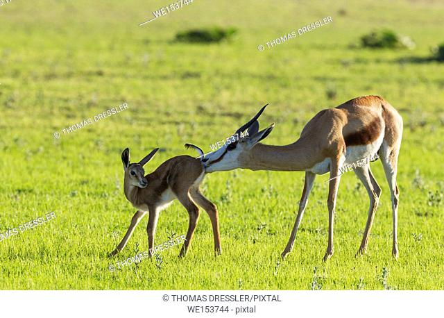 Springbok (Antidorcas marsupialis). Ewe cleans its newly born lamb. During the rainy season in green surroundings. Kalahari Desert, Kgalagadi Transfrontier Park