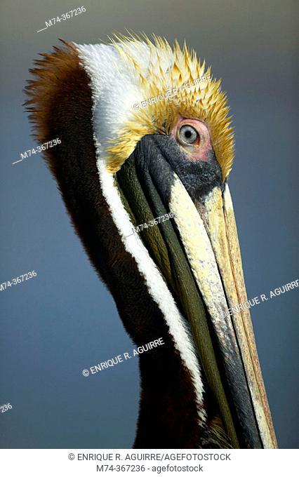 Brown Pelican (Pelecanus occidentalis), Florida. USA