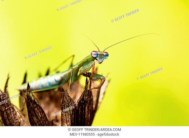 Praying mantis (Blue winged mantis) - Taken under controlled conditions in UK