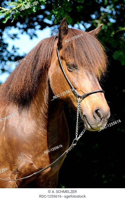 Icelandic Horse, mare