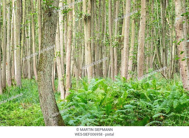 Germany, Western Pomerania Lagoon Area National Park, Darsser Wald, Forest, Black alders, Alnus glutinosa, and ferns, fen wood