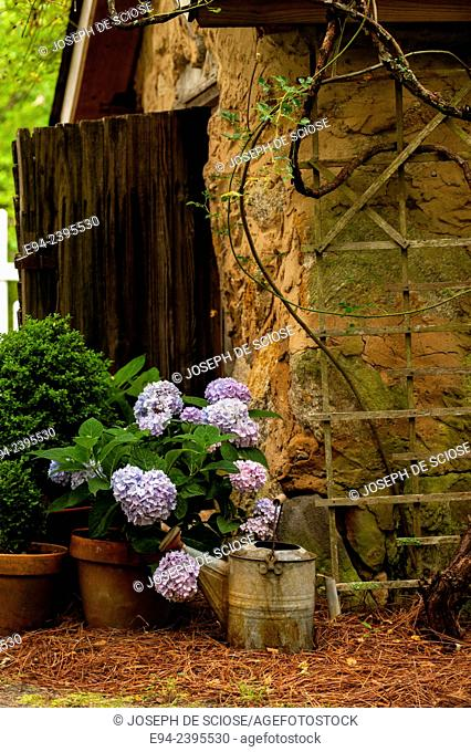 A garden cottage with hydrangeas and boxwoods in terra cotta pots. Georgia USA