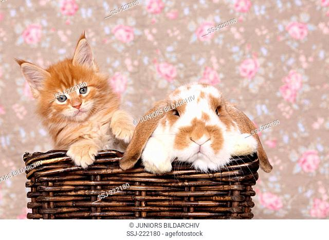American Longhair, Maine Coon. Kitten (6 weeks old) and Dwarf lop-eared rabbit in a basket, seen against a floral design wallpaper