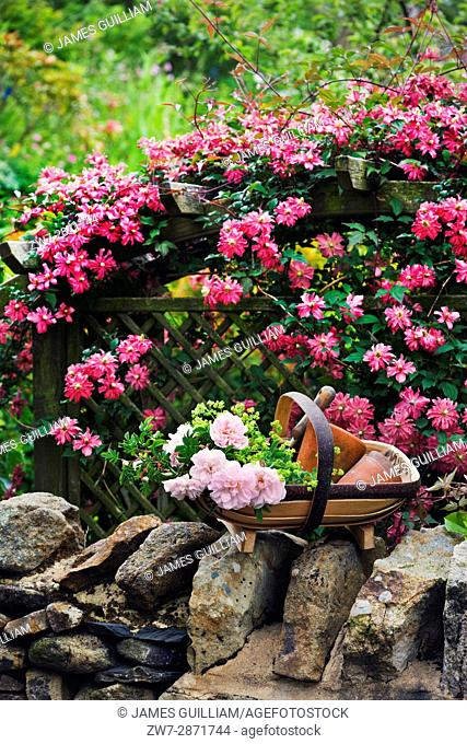Wooden garden trug filled with Roses resting on wall with Clematis on trelis in background
