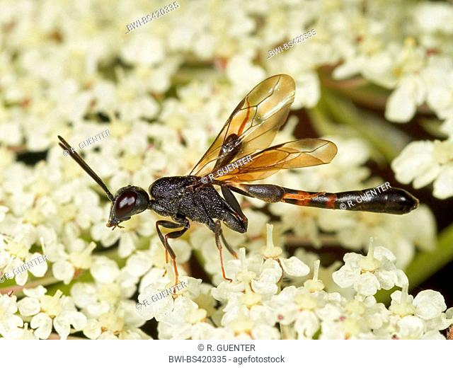 Gasteruptid wasps (Gasteruption assectator), male foraging on Wild Carrot (Daucus carota), Germany
