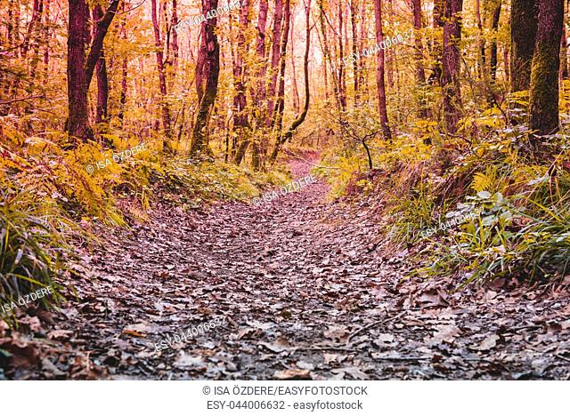 Trees around a small road,path and dry leaves on ground. Natural background. View of Autumn forest