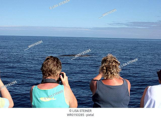Whale Watchers in the Azores observing a fin whale Azores, North Atlantic