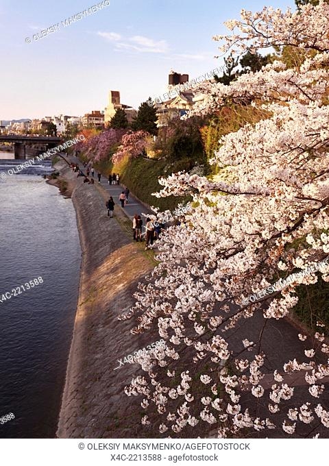 Cherry blossom on a bank of Kamo River in Kyoto, Japan 2014
