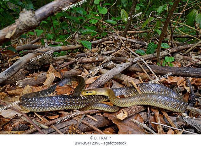 Aesculapian snake (Elaphe longissima, Zamenis longissimus), sunbathing on deadwood, Germany, Odenwald, Hirschhorn am Neckar