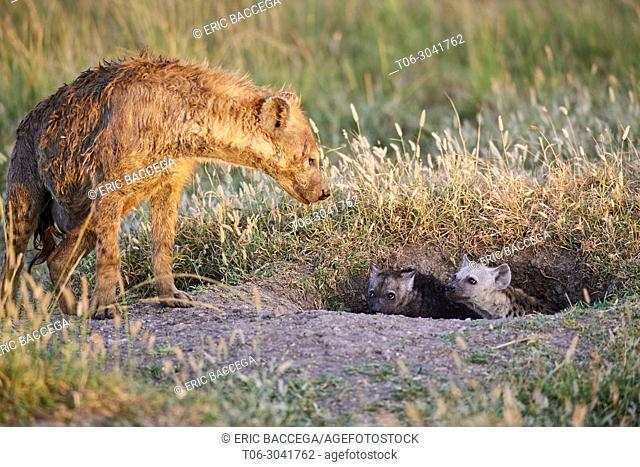 Spotted hyena (Crocuta crocuta) and pups at the den entrance, Masai Mara National Reserve, Kenya, Africa