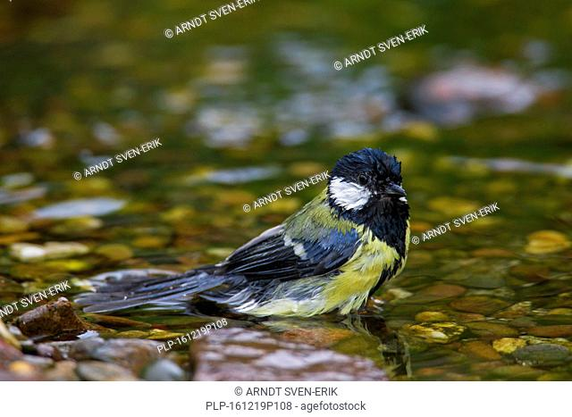 Great tit (Parus major) bathing in shallow water of brook