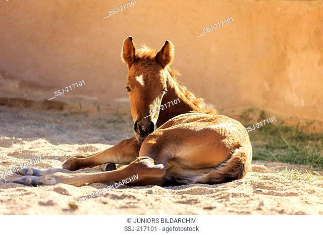 Arabian Horse. Chestnut filly-foal lying in sand. Egypt