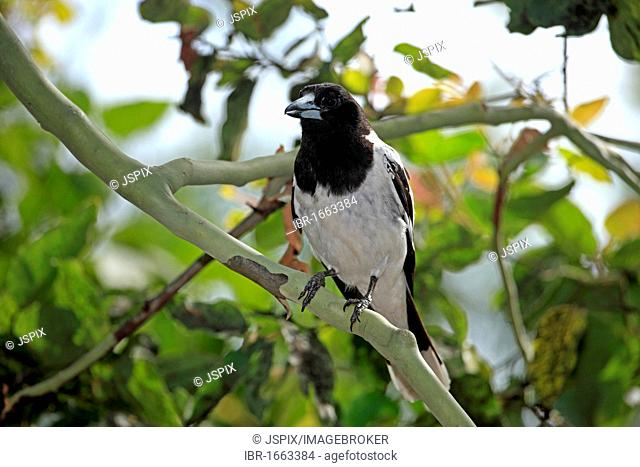 Pied Butcherbird (Cracticus nigrogularis), adult in tree, Australia