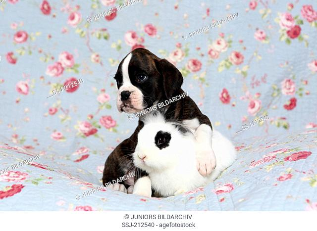 German Boxer. Puppy (6 weeks old) with Lionhead Rabbit on a blue blanket with rose flowers print. Germany