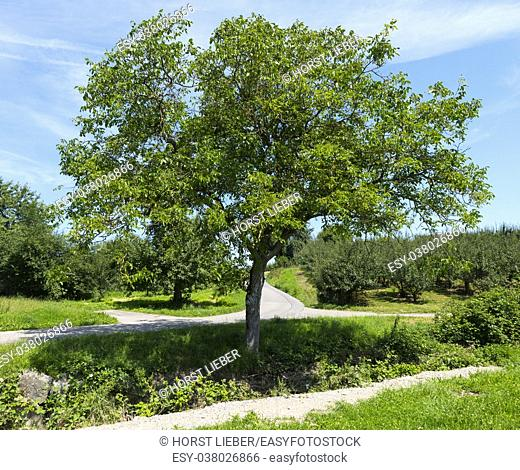 A walnut tree at Immenstaad - Immenstaad, Lake Constance, Baden-Wuerttemberg, Germany, Europe