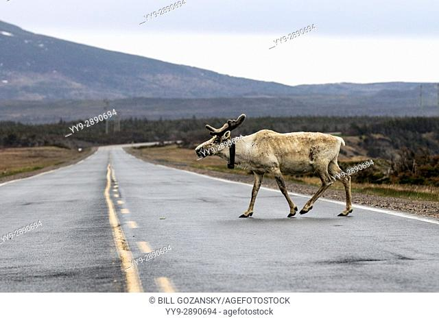 Caribou crossing road - Gros Morne National Park, Newfoundland, Canada
