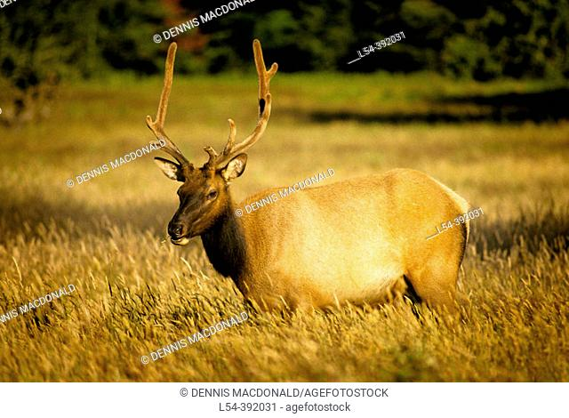 Large bull elk in Redwood National Park. California, USA