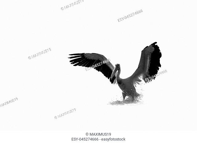 Pelican prey on fish on the Lake Sasyk