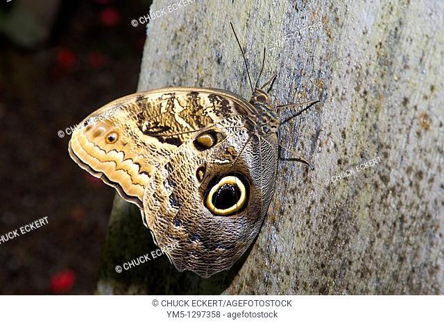 Common Morpho, Morpho peleides