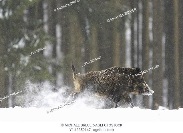 Wild boar (Sus scrofa) in wintertime, Bavaria, Germany, Europe