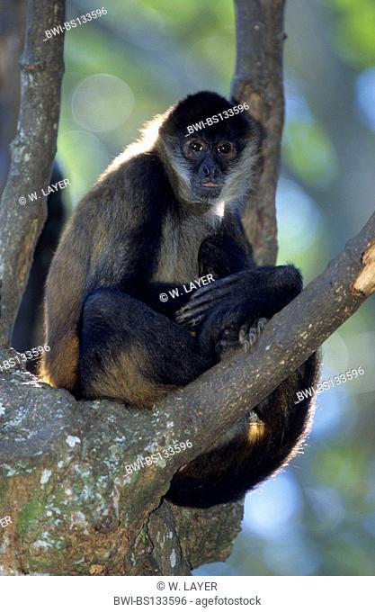 black-headed spider monkey (Ateles geoffroyi), hanging at tree