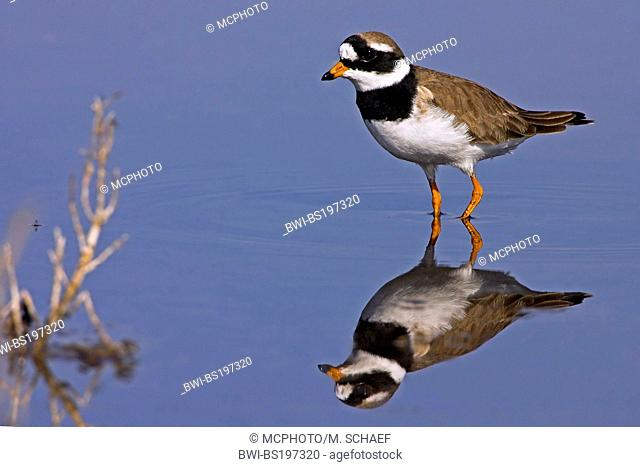 ringed plover (Charadrius hiaticula), standing in water, Greece, Lesbos