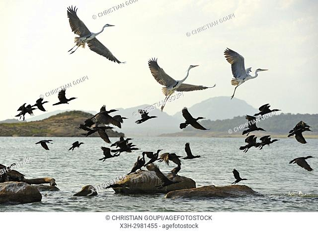 Indian cormorant (Phalacrocorax fuscicollis) and grey heron (Ardea cinerea), Senanayake Samudraya Lake, Gal Oya National Park, Sri Lanka, Indian subcontinent
