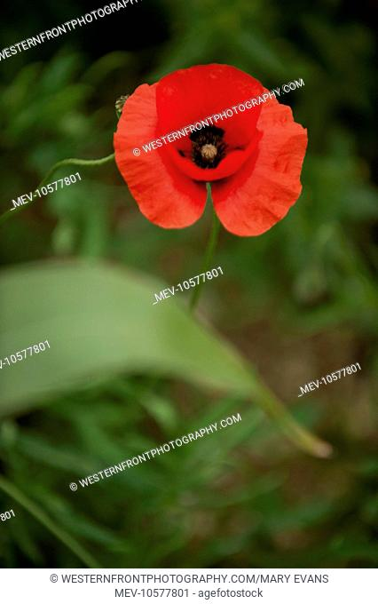 In Flanders fields the poppies blow Between the crosses, row on row, That mark our place; and in the sky The larks, still bravely singing