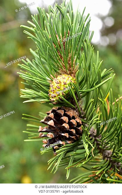Pino negro (Pinus uncinata or Pinus mugo uncinata) is a coniferous tree native to Pyrenees, Sierra de Gudar, Sierra Cebollera and Alps