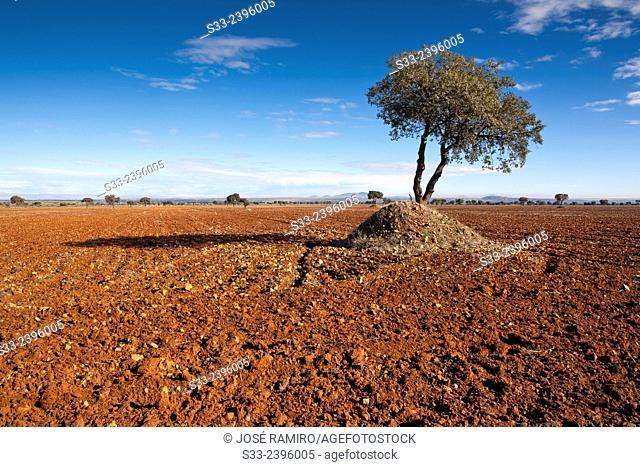 Oaks in The Calveños. Navahermosa. Toledo. Castilla la Mancha. Spain. Europe