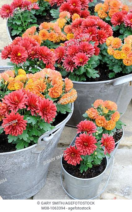 Miniature Autumn chrysanthemums, planted in old galvanised containers, Norfolk, UK, October