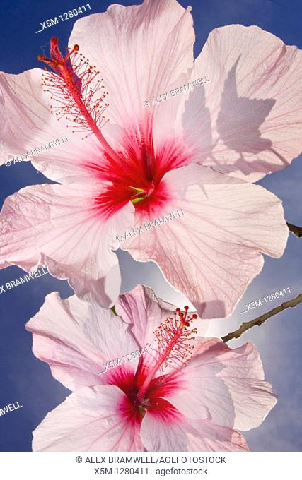 Pink Hibiscus Against The Sky