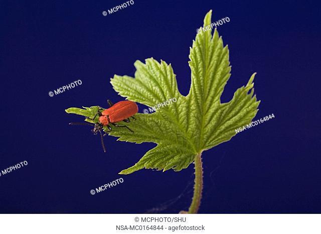 Cardinal beetle Pyrochroa coccinena