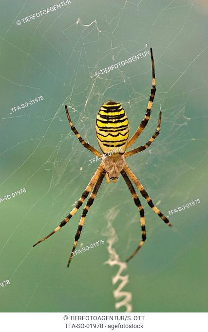wasps spider in web