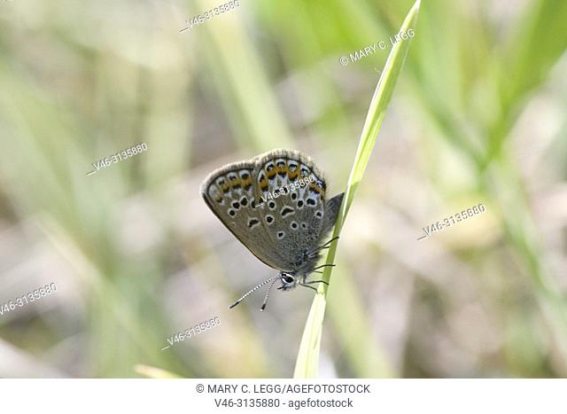 Silver-studded Blue, Plebejus argus, a myrmephious butterfly tended by Lasius niger and Formica cinerea. Food plants are Fabaceae including Galega, Lotus