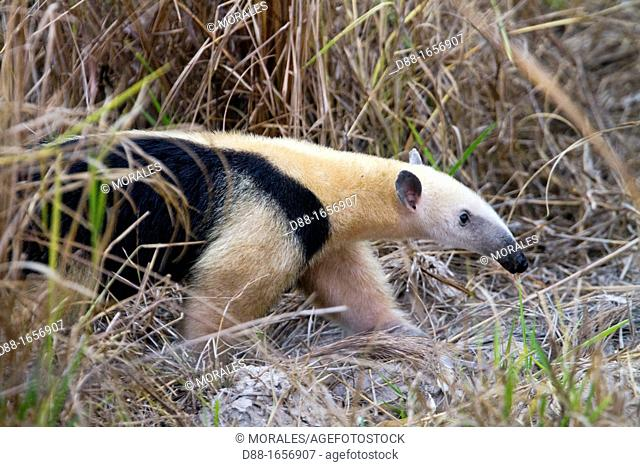 Brazil, Mato Grosso, Pantanal area, Southern Tamandua or Collared Anteater or Lesser Anteater Tamandua tetradactyla