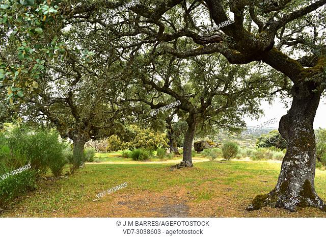 Evergreen oak, holly oak or holm oak (Quercus ilex rotundifolia or Quercus ballota) is an evergreen tree to Iberian Peninsula and north Africa
