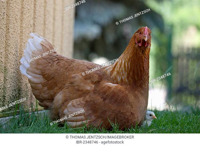 Dresden chicken with a black and white chick, cross-bred with Italian Chicken, also known as Leghorn